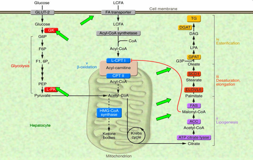Metabolic-pathway-for-de-novo-FA-synthesis-and-TG-formation.png