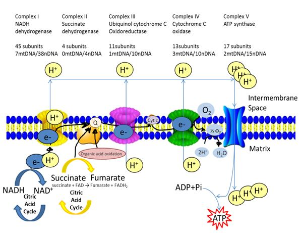 Image result for respiration chain acetogenins jpg
